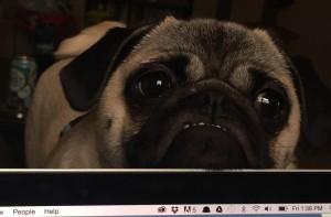 Penelope the pug